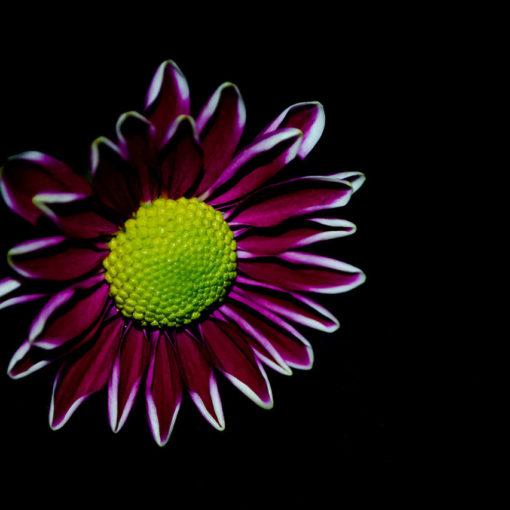 Fotografare i fiori su sfondo scuro